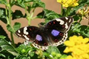 Butterfly, Nairobi