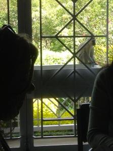 Eavesdropping monkey