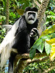 Colobus monkey & baby