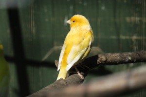 Canary in Bury St Edmunds