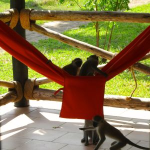 Monkeys enjoying our hammock